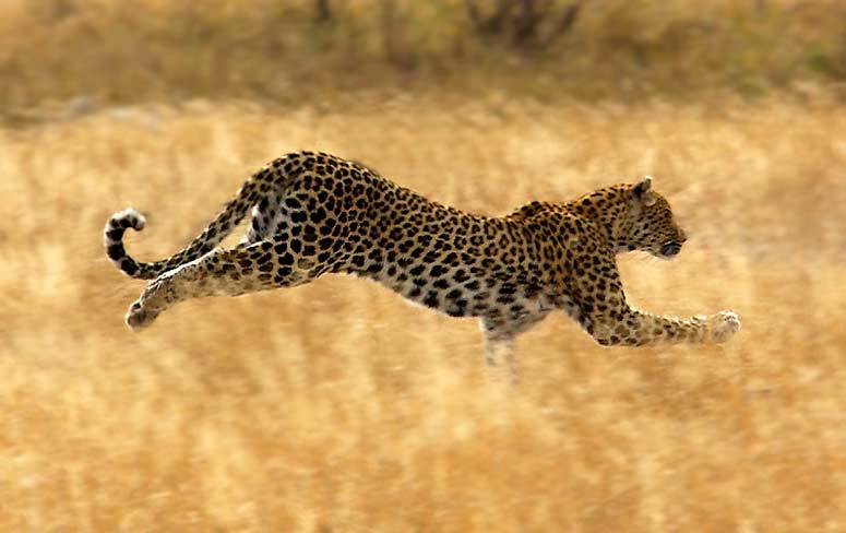 Day-9-Leopard-Running.jpg